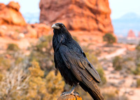 Raven at Balanced Rock in Late Evening.