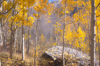 Aspens in Fall Colors near the Million Dollar Highway
